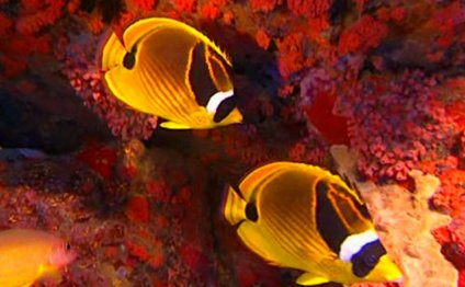 Рыбки-клоуны среди кораллов
